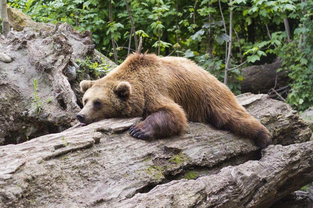 La hibernación del oso pardo