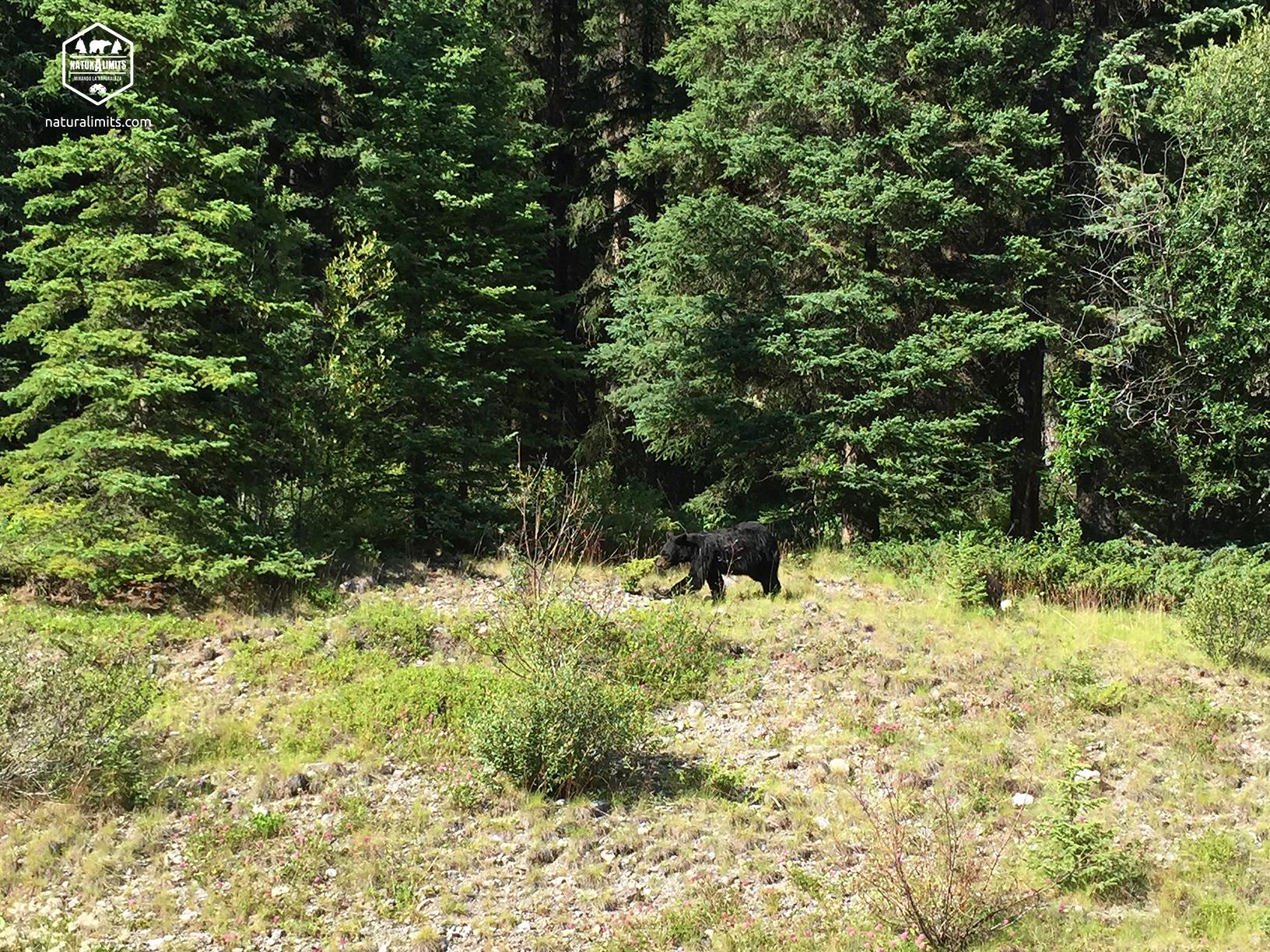 Observación de Oso Grizly en Canadá