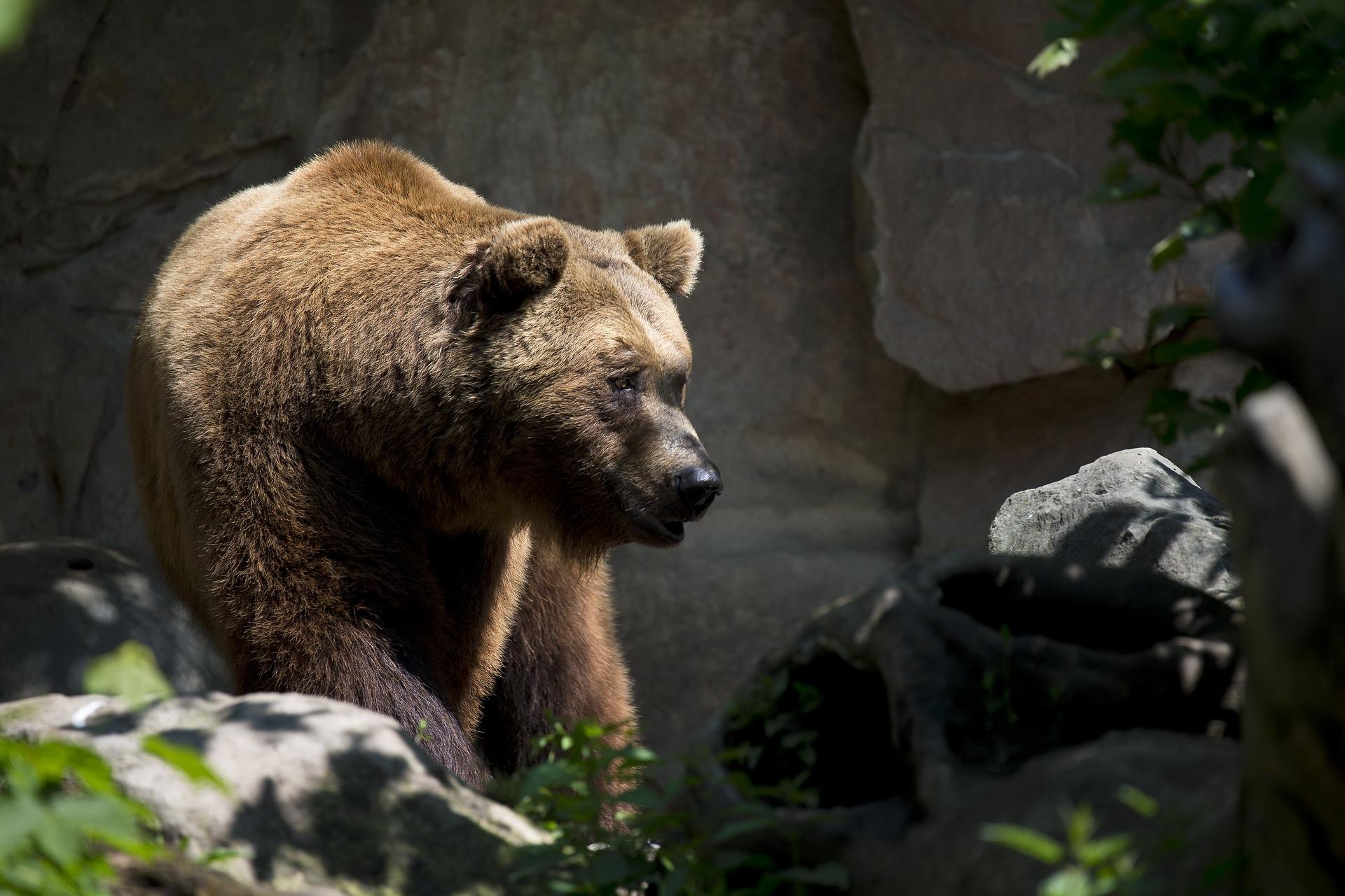 oso pardo europeo