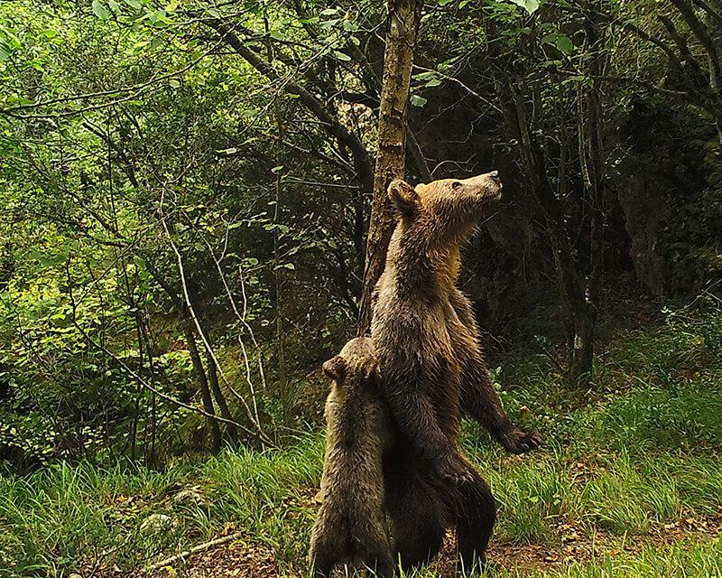 osos en somiedo
